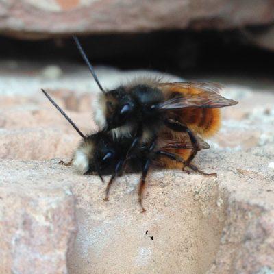 Včely samotárky